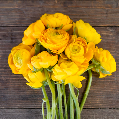 Yellow Ranunculus Fresh Cut Flower