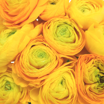 Yellow Ranunculus Fresh Cut Flower