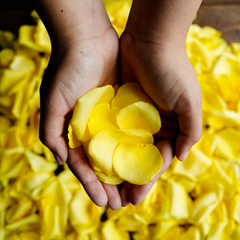Yellow Fresh Rose Petals