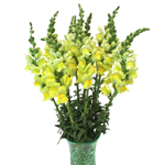 Yellow Snapdragon Fresh Cut Flower