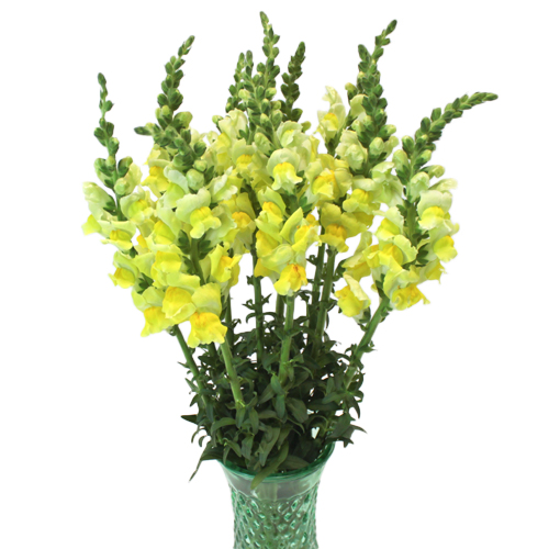 Yellow Snapdragon
