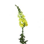 Yellow Snapdragon Fresh Cut Flower