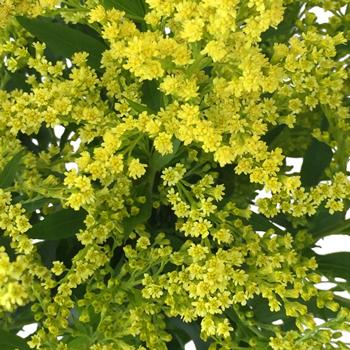 Enhanced Yellow Estelle Filler Flower