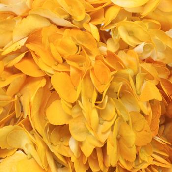 Pineapple Fizz Airbrushed Yellow Hydrangea Flower