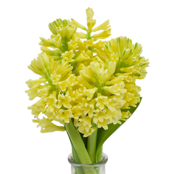 Hyacinth Yellow Flower May to December