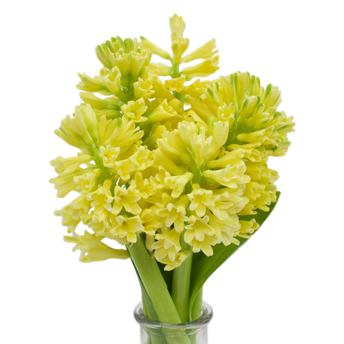 Hyacinth Yellow Flower January to April