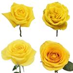 yellow roses buy bulk