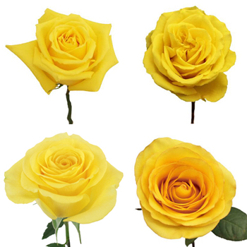 yellow roses buy bulk