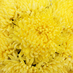Yellow Football Mum Flower