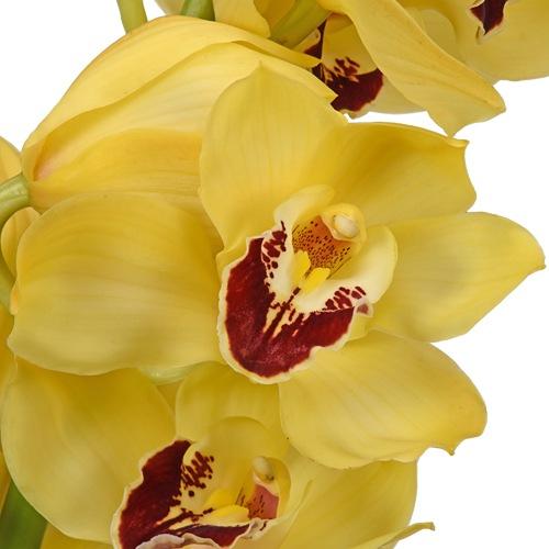 Yellow Cymbidium Orchids Overnight