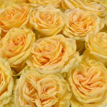 Golden Yellow Finesse Bulk Rose