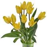 Bulk Yellow Tulip flowers