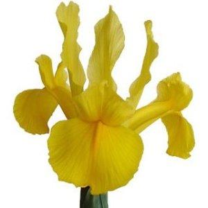 Iris Yellow Bulk Flowers