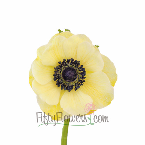 Yellow Enhanced Anemone Fresh Cut Anemones
