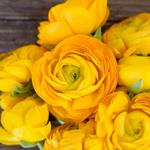 Yellow Ranunculus Wholesale Flower Upclose
