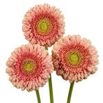 Mini Gerbera Daisies Bulk Red Flowers