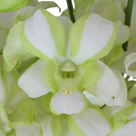 Striped Dendrobium orchid Wholesale Bloom
