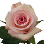 Lady Katherine Light Pink Rose Stem