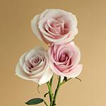 Secret Blush Garden Rose Side 3 Stem View