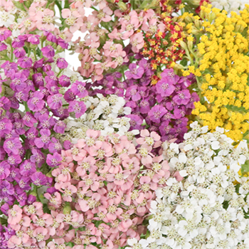 Farm Mix Yarrow Flowers