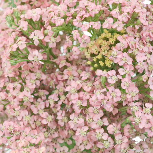 Light Pink Cottage Yarrow Flowers