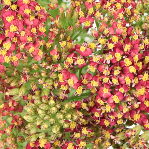 Paprika Red Cottage Yarrow Flowers