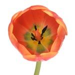 Ad Rem Orange Tulips Wholesale Flower Side Stem