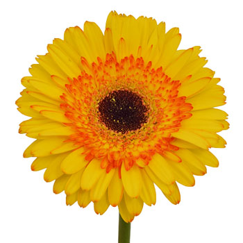 Gerbera Daisy Adventure Yellow Sunset Wholesale Flower Up close