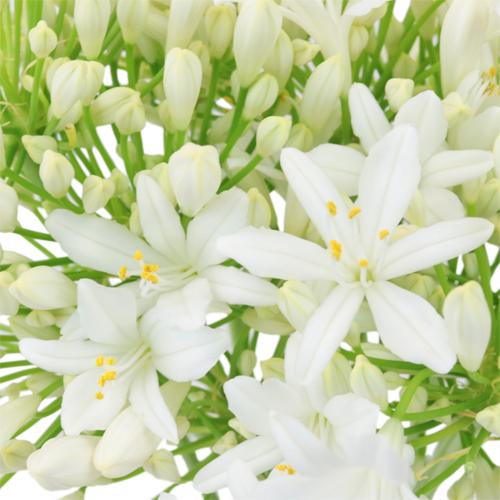 White Starlite Agapanthus Flowers