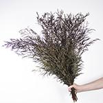 Agonis greenery wholesale wedding flowers