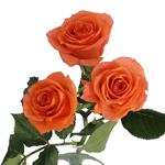 Alegria Dark Orange Spray Rose Stem