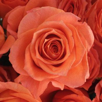 Alegria Dark Orange Spray Roses up close