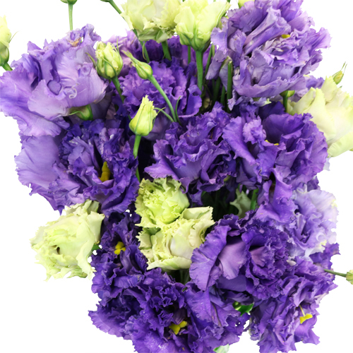 Hues of Purple Frill Lisianthus Flower for October to May Delivery