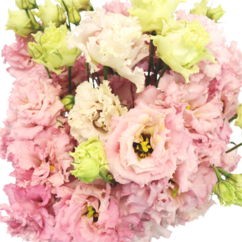 Light Pink Lisianthus Frill Flower for October to May Delivery