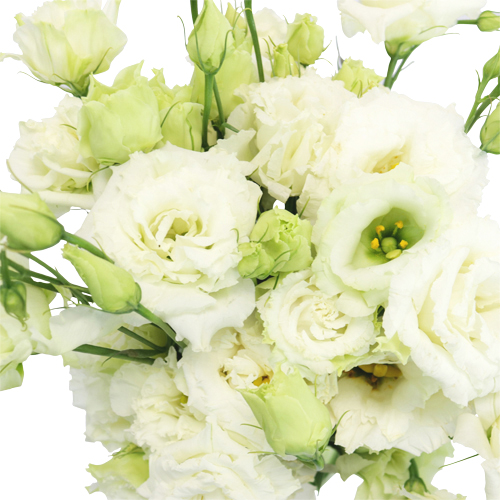 White Frill Lisianthus Flower for October to May Delivery