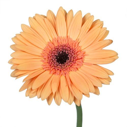 Gerbera Daisy Alliance Peach Flower Up close