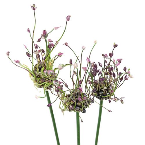 Modern Violet Allium Flowers
