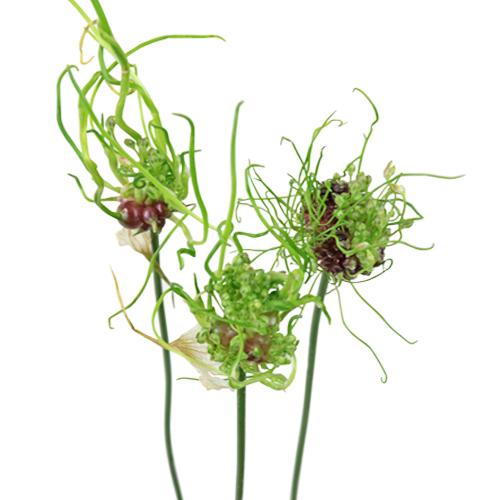 Urchin Green Allium Flowers