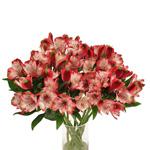 Red White alstroemeria Wholesale Flower In a vase