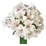 White Blush alstroemeria Wholesale Flower In a vase