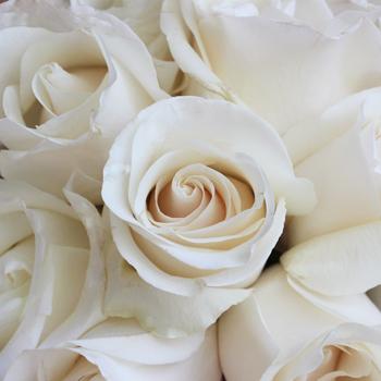 Amelia Creamy White Rose