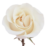 Creamy White Rose Amelia