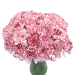 Bicolor Carnation Flowers White and Purple