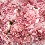 Amica White and Purple Wholesale Carnations Up close