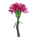 Amico Lavender Magenta Carnations side stem