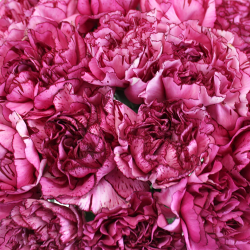 Raspberry Filling Carnation Flowers
