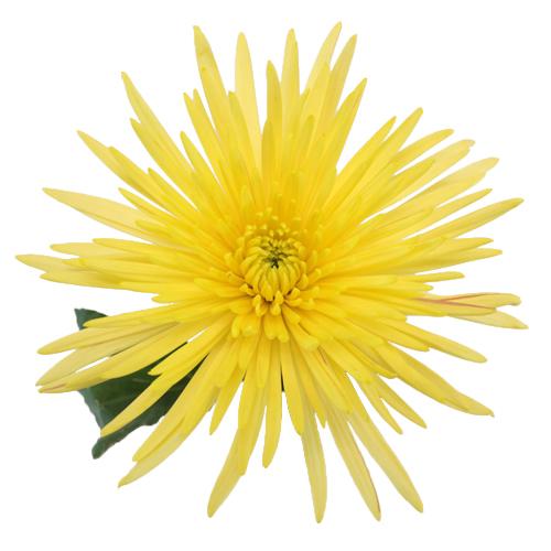 Yellow Anastasia Flower