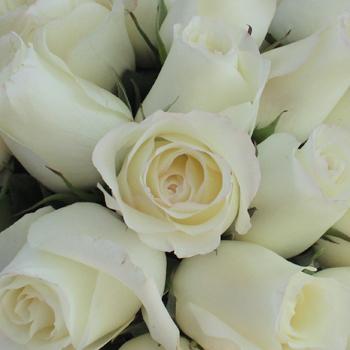 Anastasia White Rose