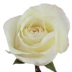 White Rose Anastasia