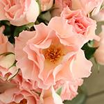 Anastasia Pink Spray Roses up close